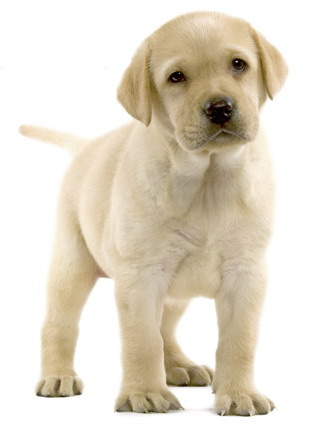 royal canin breed labrador junior veterin rn p. Black Bedroom Furniture Sets. Home Design Ideas